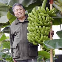 Okayama researcher boasts nontropical banana success