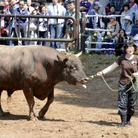 Breaking with tradition, Akiko Moriyama leads her bull Azukimaru into a bullfighting ring to display it to Saturday's audience in Nagaoka, Niigata Prefecture. | KYODO