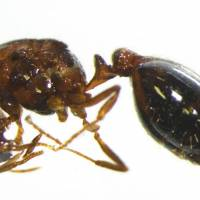 Dead fire ant found at a private residence in Osaka Prefecture