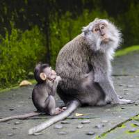 Japanese team succeeds in impregnating monkey via uterus transplant