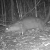 A wild otter appears on a monitor on Tsushima Island in Nagasaki Prefecture in October 2017. | UNIVERSITY OF THE RYUKYUS / VIA KYODO