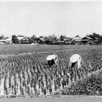 This undated photo shows a rice field in Yoshino village, Hualien County, Taiwan's first Japanese settlement. | COURTESY OF CHANG SU-BING / VIA KYODO
