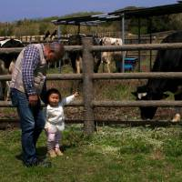 Herd mentality: Local toddler, Miran Shirai, knows the name of each of the cows in this corral. | KIT NAGAMURA