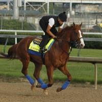 Justify, ridden by exercise rider Humberto Gomez, gallops at Churchill Downs in Louisville, Kentucky, last Saturday. Justify is getting ready for the Belmont Stakes and a possible Triple Crown in New York on June 9. | AP