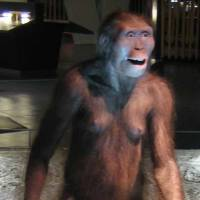 A reconstruction at Barcelona's CosmoCaixa science museum of an Australopithecus afarensis like 'Lucy,' a possible human ancestor that lived around the same time as three genes pinpointed in a study on the evolution of cognition. | VIA WIKIMEDIA COMMONS