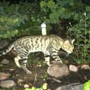 A feral cat is seen in the wild in Australia. Feral cats are killing more than one million reptiles every day in Australia, a new study has found.