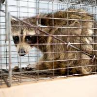 Raccoon reaches roof after scaling 25-story St. Paul tower, enters cat food-baited trap
