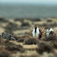 Forest Service proposes changes seen easing sage grouse protections