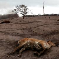 A dead calf is seen at an area affected by the eruption of the Fuego volcano at El Rodeo in Escuintla, Guatemala, Wednesday. | REUTERS