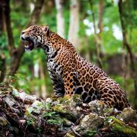Mexico's jaguar population grows 20% in eight years