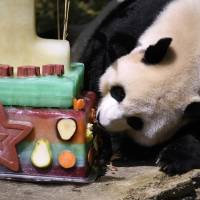 Mei Xiang, mother of giant panda cub Bei Bei, eats Bei Bei's birthday cake at the National Zoo in Washington during a celebration of Bei Bei's first birthday in 2016. Officials closed the David M. Rubenstein Family Giant Panda Habitat on Sunday to give Mei Xiang some quiet time because she is exhibiting behaviors that are in line with both a pregnancy and a false pregnancy. | AP