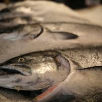 Alaskan King salmon are encased in ice on a seafood counter at the Pike Place Market in Seattle last year. | REUTERS