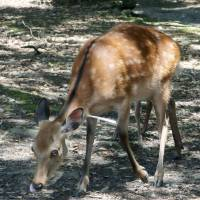 A deer in Nara City has what seems to be a paper dart lodged in its neck.   THE FOUNDATION FOR THE PROTECTION OF DEER IN NARA