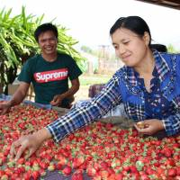 Myanmar strawberry farmers reduce losses with Japan's cold-chain logistics