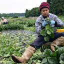 Thai workers toil away at the Green Leaf farm in Showa, Gunma Prefecture, on June 6.