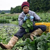 Thai workers toil away at the Green Leaf farm in Showa, Gunma Prefecture, on June 6. | REUTERS