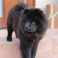 Show some respect: A chow chow named Kikome