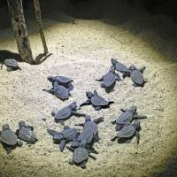 Watch your step, the turtles are hatching on Yakushima