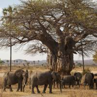 Baobabs a wake-up call for action on climate change