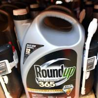 Roundup products are seen for sale at a store in San Rafael, California, on Monday. A lawyer for a California groundskeeper dying of cancer took aim at Monsanto as a jury began hearing the lawsuit accusing the chemical giant of ignoring health risks of its top-selling weed killer Roundup. | AFP-JIJI