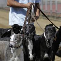 A dog handler escorts greyhounds walking at the track at the Yat Yuen Canidrome in Macau on March 11. Macau authorities took in more than 500 greyhounds abandoned following the closure of Asia's only legal dog-racing track on Saturday. | AP
