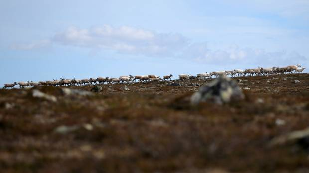 As Arctic warms, reindeer herders tangle with new industries