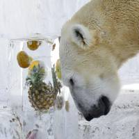 In an attempt to beat Sunday's scorching heat, female polar bear Icchan works on a block of fruit-packed ice at Osaka's Tennoji Zoo. | KYODO