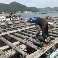 A fisherman ties a bag of eelgrass to an oyster raft in the water off Bizen. | MAIKO MURAOKA