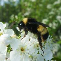 A yellow-banded bumblebee   VICTORIA MACPHAIL/FES/YORK UNIVERSITY/VIA REUTERS