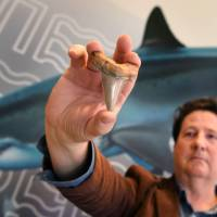 Set of teeth from ancient mega-shark found in rock on Australian beach