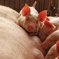 China's African swine fever outbreak could cross borders: United Nations
