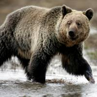 A grizzly bear roams through the Hayden Valley in Yellowstone National Park in Wyoming in 2014. | JIM URQUHART / VIA REUTERS