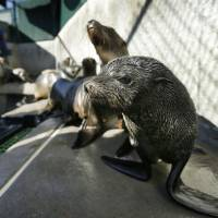 A Guadalupe fur seal (foreground) passes by as SeaWorld animal rescue team member Heather Ruce feeds a California sea lion at a rescue facility in San Diego, with rescue crews seeing a higher than average amount of stranded sea lions, in 2013. Marine biologists nicknamed a patch of persistent high temperatures in the Pacific Ocean between 2013 and 2016 'the Blob.' During that period, decreased phytoplankton production led to a 'lack of food for many species,' from fish to marine mammals. | AP