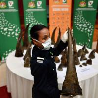 A Malaysian Wildlife official displays seized rhino horns and other animal parts at the Department of Wildlife and National Parks headquarters in Kuala Lumpur on Monday. | AFP-JIJI