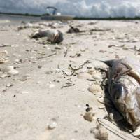 Bob Wasno, a marine biologist with the Florida Gulf Coast University, docks his boat on a beach in Bonita Springs, Florida, on Tuesday where hundreds of dead fish washed up killed by red tide. A state of emergency has been declared in Florida as the worst red tide in a decade blackens the saltwater, sours the air and kills dolphins, sea turtles and fish at a relentless pace. | GIANRIGO MARLETTA / VIA AFP-JIJI