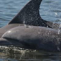 In this image released by the Sarasota Dolphin Research Program, Speck, a bottlenose dolphin, swims in 2015. Speck reportedly became a victim of Florida's red tide. The body of the 12-year-old dolphin was foung on Sunday. | ARASOTA DOLPHIN RESEARCH PROGRAM / VIA AFP-JIJI