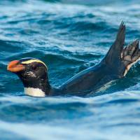 This photo courtesy of Thomas Mattern shows a Fiordland 'Tawaki' penguin (Eudyptes pachyrhynchus) off the coast of Stewart Island, New Zealand. A study conducted by a team from the University of Otago in New Zealand and published in PLOS One, a peer-reviewed open access scientific journal, on Wednesday shows the penguin can travel some 6,800 km (4,445 miles), 20 to 80 km (12 to 49 miles) per day for 60 to 80 days. The study concludes as a mystery the reason why the penguin undertakes such marathon travels. | THOMAS MATTERN / VIA AFP-JIJI