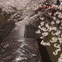 No surprise why Naka-Meguro is a popular hanami spot in Tokyo.
