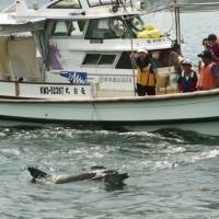 Dolphin lover looks to launch study and develop sustainable marine tours around Tsuji Island in western Japan