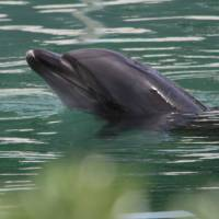 Honey, a bottlenose dolphin, is seen at the abandoned Inubosaki Marine Park Aquarium in Choshi, Chiba Prefecture, on Aug. 15. | REUTERS