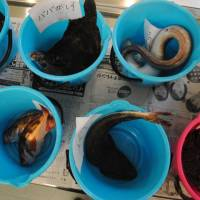 Fish are placed in a bucket for radiation testing in Iwaki, Fukushima Prefecture, on July 27. | AFP-JIJI
