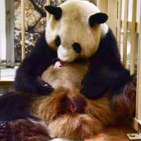 Rauhin is seen with her panda cub, born on Tuesday, at the Adventure World zoo in Wakayama Prefecture. | ADVENTURE WORLD / VIA KYODO