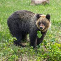 Japan's bears are widely vilified and little understood