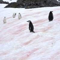 Watermelon snow is speeding up the melting of glaciers, Japanese scientists report