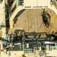 This 2017 photo released by activist group Sea Shepherd Global shows an image taken from a helicopter of a protected minke whale onboard the Nisshin Maru, part of the Japanese whaling fleet, at sea in Antarctic waters. On Monday pro- and anti-whaling nations locked horns as the International Whaling Commission (IWC) began meeting in Brazil amid outrage over Japan's proposal to end a three-decade moratorium on commercial whale hunting. | GLENN LOCKITCH / SEA SHEPHERD GLOBAL / VIA AFP-JIJI