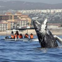 People watch as a humpback whale (Megaptera novaeangliae) jumps out of the Pacific Ocean in Los Cabos, Baja California Sur, Mexico, in March. | AFP-JIJI