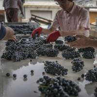 Mercian Corp. workers inspect pinot noir grapes at the Chateau Mercian winery in Katsunuma, Yamanashi Prefecture, on Sept. 7. | BLOOMBERG