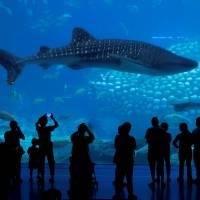 Visitors watch a whale shark at the Whale Shark Aquarium of Chimelong Ocean Kingdom in Zhuhai, China, on Sept. 4. | REUTERS