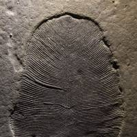Fossils dating back over 500 million years confirmed coming from an animal