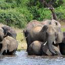 Elephants drink water in Chobe National Park in Botswana on March 3, 2013. A conservation group says elephant poaching has increased in Botswana, which has long been viewed as a rare refuge for elephants in Africa.